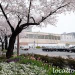 国立駅南口ロータリーの桜とチューリップ