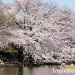 石神井公園の石神井池と満開の桜